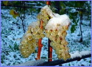 Изморозь на гроздьях